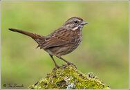 Song-Sparrow-097