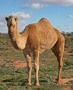 07. Camel Profile, near Silverton, NSW, 07.07.2007