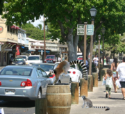 Bay area lemurs