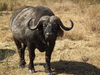 African Buffalo Syncerus caffer in Tanzania 3601 Nevit