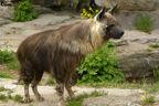 Brown hyena 14 by rhcp cream-d3eyys8