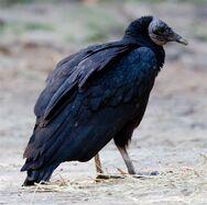 Black-vulture-1