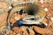 Australian Blue-Tongued Skink