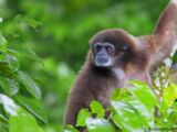 Domestic Gibbon