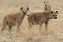 Group of Hyena Looking for Hunting