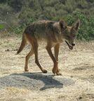 Coyote Beverley Hills CA
