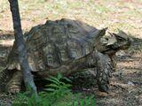 Ankylosaurian Turtles