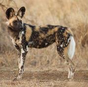Abstract-fullscreen-african-wild-dog-hd-wallpaper