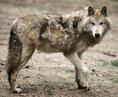 Baffin Island wolf
