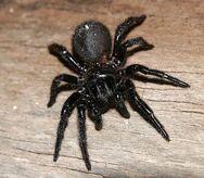 Victorian-funnelweb-spider