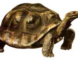 Indian Giant Tortoise