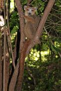 Crowned lemur (Eulemur coronatus) male
