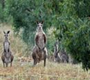 Asian Kangaroo