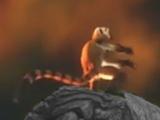 Briddle-Tailed Lemur