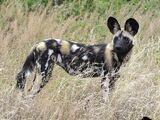 North African Wild Dog