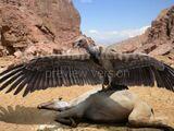 African Giant Condor