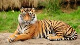 Bengal Tiger 04