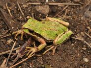 Pacific Tree Frog (Pseudacris regilla) 3