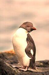California River Penguin