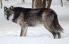 Northeastern wolf