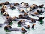 Atlantic Sea Otter