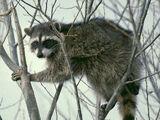 Algerian Raccoon