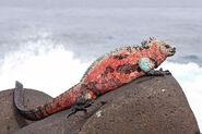 California-marine-iguana