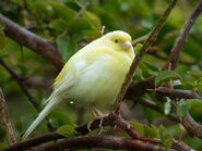 Domestic Canary