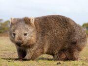 African-Wombat