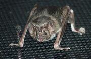 Northern-vampire-bat