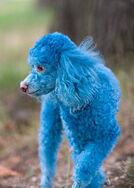 Blue-Poodle-Dog-07