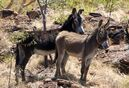 Feral-donkey