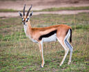Thomsons-gazelle-on-savanna-in-africa-michal-bednarek