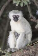 Vervet monkey Krugersdorp game reserve (5657678441)