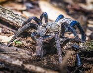 Haplopelma lividum, Cobalt blue tarantula cropped