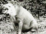 Great Indian Tapir