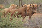 Brown wildebeest