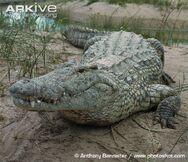 Nile-crocodile-