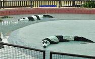 Panda-alligator