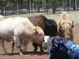 Domestic Bison