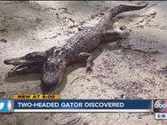 Two headed Gator discovered 1752910000 6595927 ver1.0 640 480