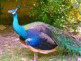 American Peacock