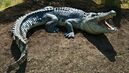 Pictures-of-Saltwater-Crocodile