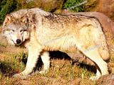 Australian Wolf