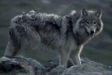 Labrador Wolf
