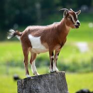 Goat in Hateg