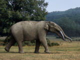 American Elephant
