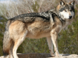 South American Gray Wolf