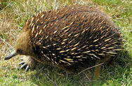 Short-beaked Echidna Tasmania
