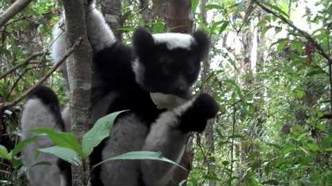 Black-Hooded Lemur Sounds